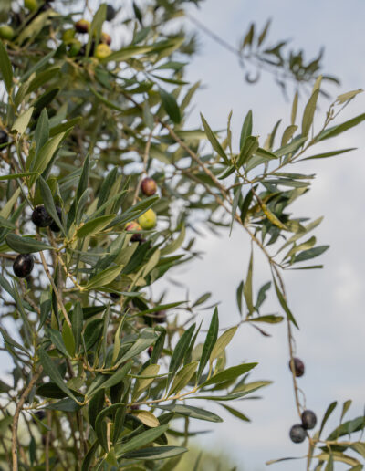 San Pasquale - Oliveto